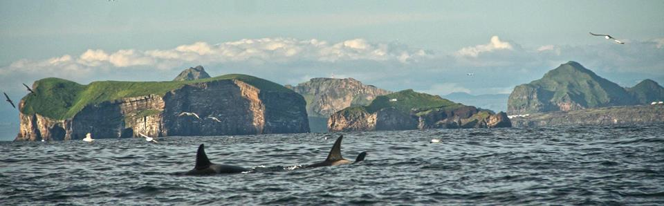 Killer Whales Westman Islands
