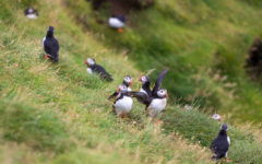 Puffins on Vestmannaeyjar - Westman Islands